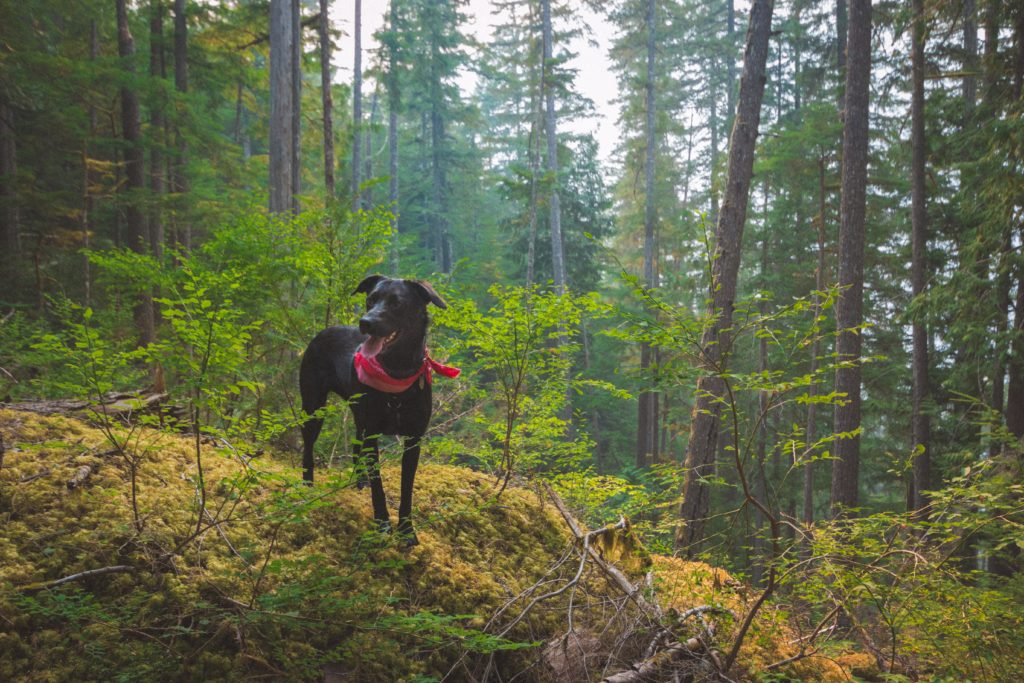 black lab dog hiking in forest