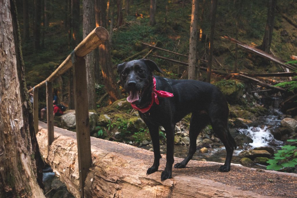 dog on log bridge hiking on Eaton Lake trail